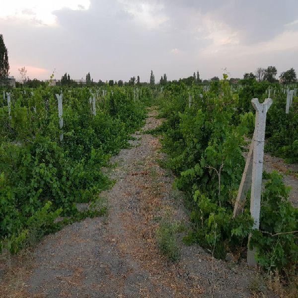 فروش باغ  1100مترایستاده انگور در امامزاده ارومیه