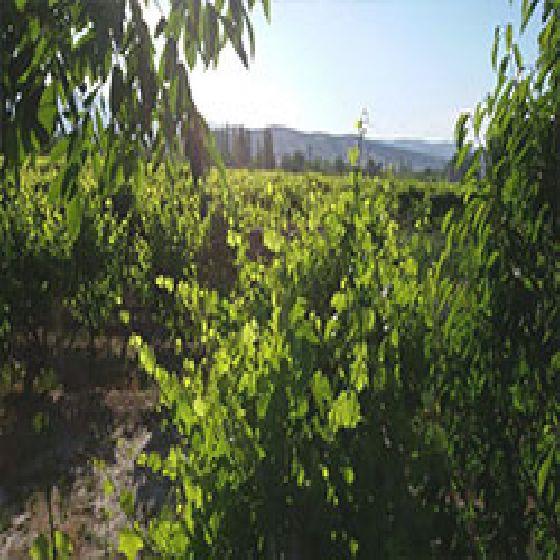 فروش باغ  انگور 15000 متر جاده بالانج ارومیه