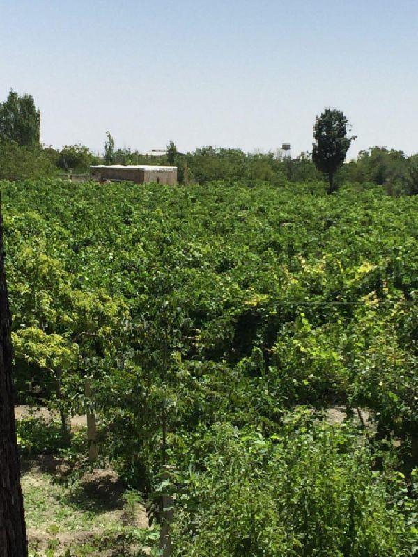 فروش باغ انگور ایستاده 6000 متر جاده سنتو ارومیه