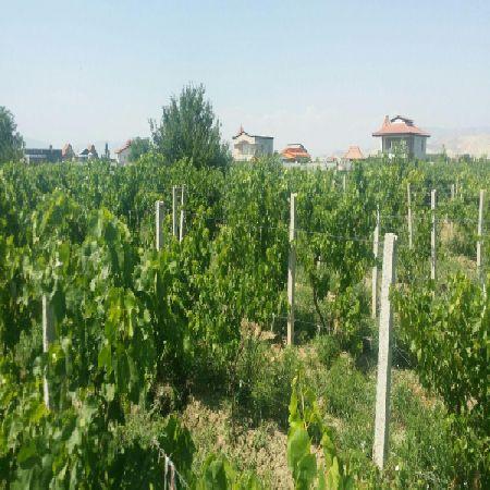 فروش باغ انگور ایستاده 1500 متر امامزاده ارومیه
