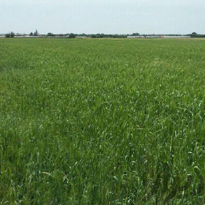 فروش زمین کشاورزی 1360 متر بر جاده کلانتری