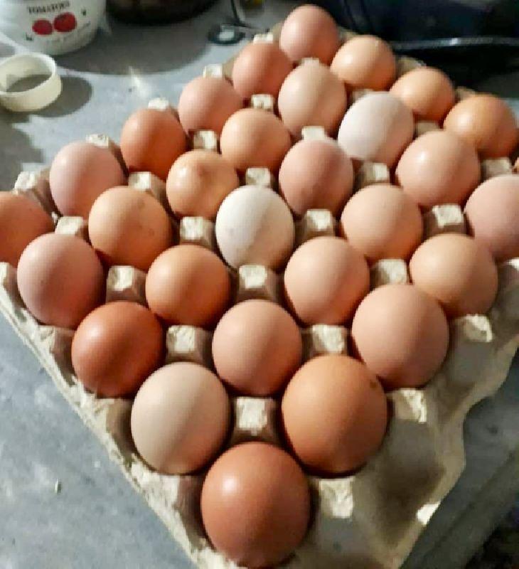 فروش تخم مرغ بومی ارگانیک و تازه