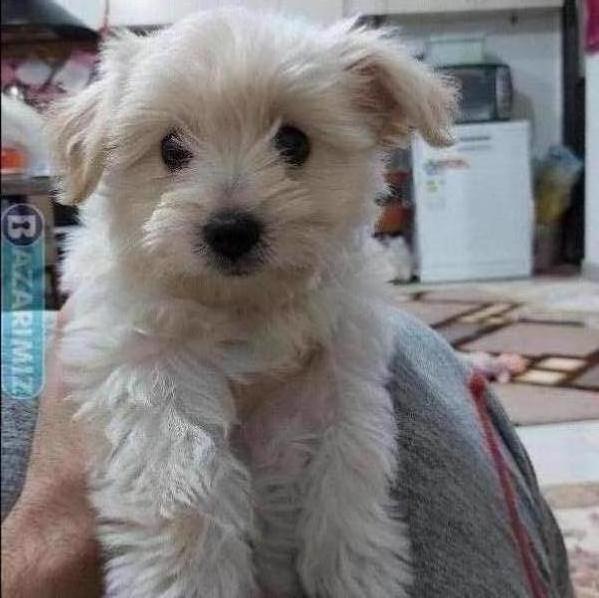 سگ شیتزو گراس خانگی